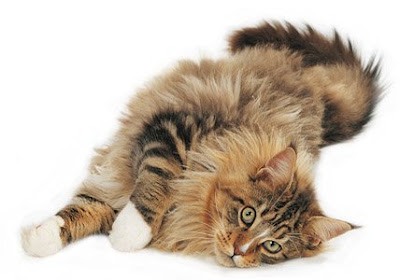 Cats - Maine Coons Cat Pics