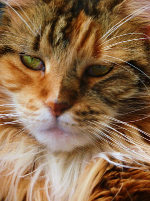 Maine Coons Cat Breeds Pics