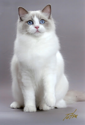 Breeds - Ragdoll Cute Cat Pics