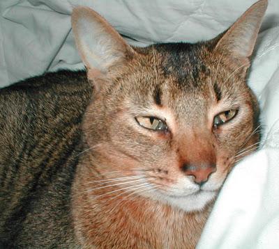 Abyssinian Cat Pics