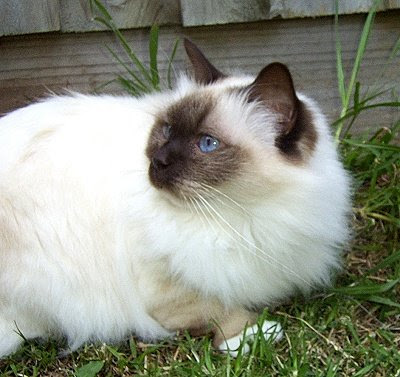 Birman Cats Image