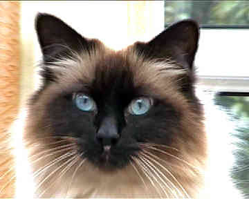 Birman Cat Breed Picture