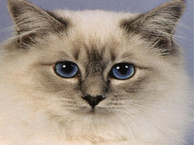 Cute Cats Pics - Birman Cats