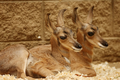 Two rare Peninsular pronghorns male Twins