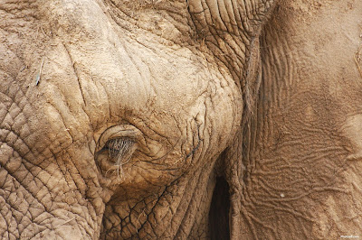 African Elephants Wallpaper