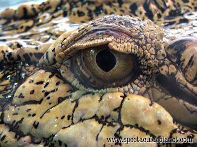 The Saltwater crocodile Pics