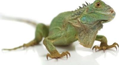 iguana Pet Picture