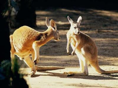 Red Kangaroos Photograph at Zoo Park
