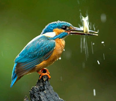 Kingfisher bird fish hunting Photo