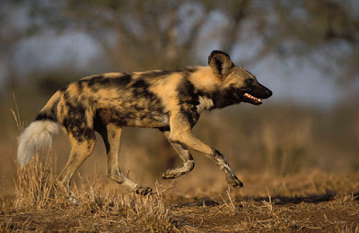 World Fastest Animal Cape Hunting Dog - 8
