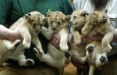 cute Lion cubs Pics