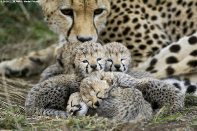 Cheetahs Cubs Picture