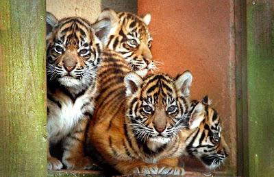 Tiger Cubs Pics