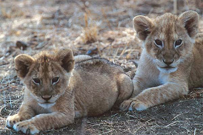 lion cubs Picture