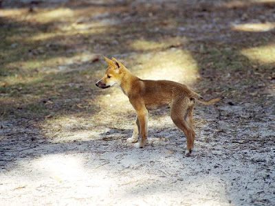 Dingo Pup Foraging for Food Photo