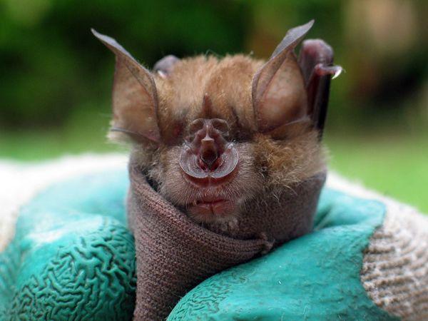 Japan: Rare African Bats, Bats Info and Bat Pictures, Photos