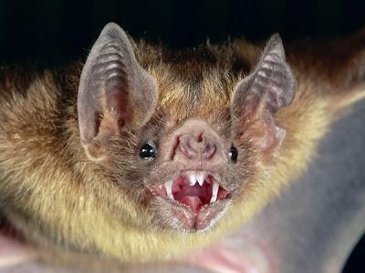 Vampire Bat Picture