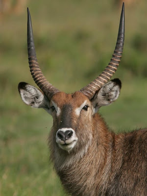 Waterbuck Wild Animal Picture