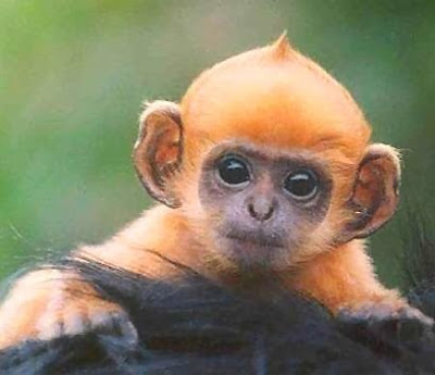 Cute Orange Baby Monkey