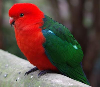 Australian King Parrot Pictures
