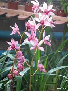 Орхидея Каттлея гибридная
