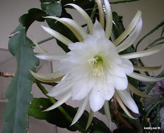 эпифиллюм, фотография с цветком