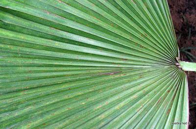 атлантический клещ на пальме