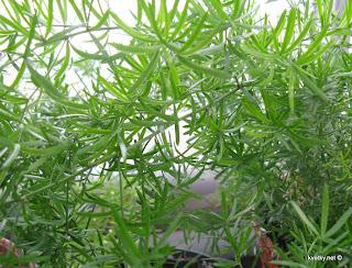 Аспарагус густлцветковый Шпренгера