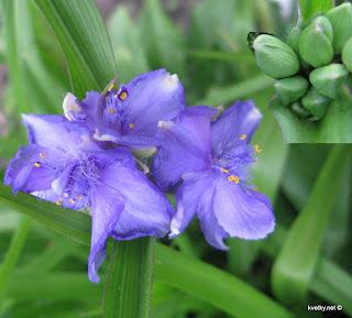 Традесканция Андерсона цветок и бутоны