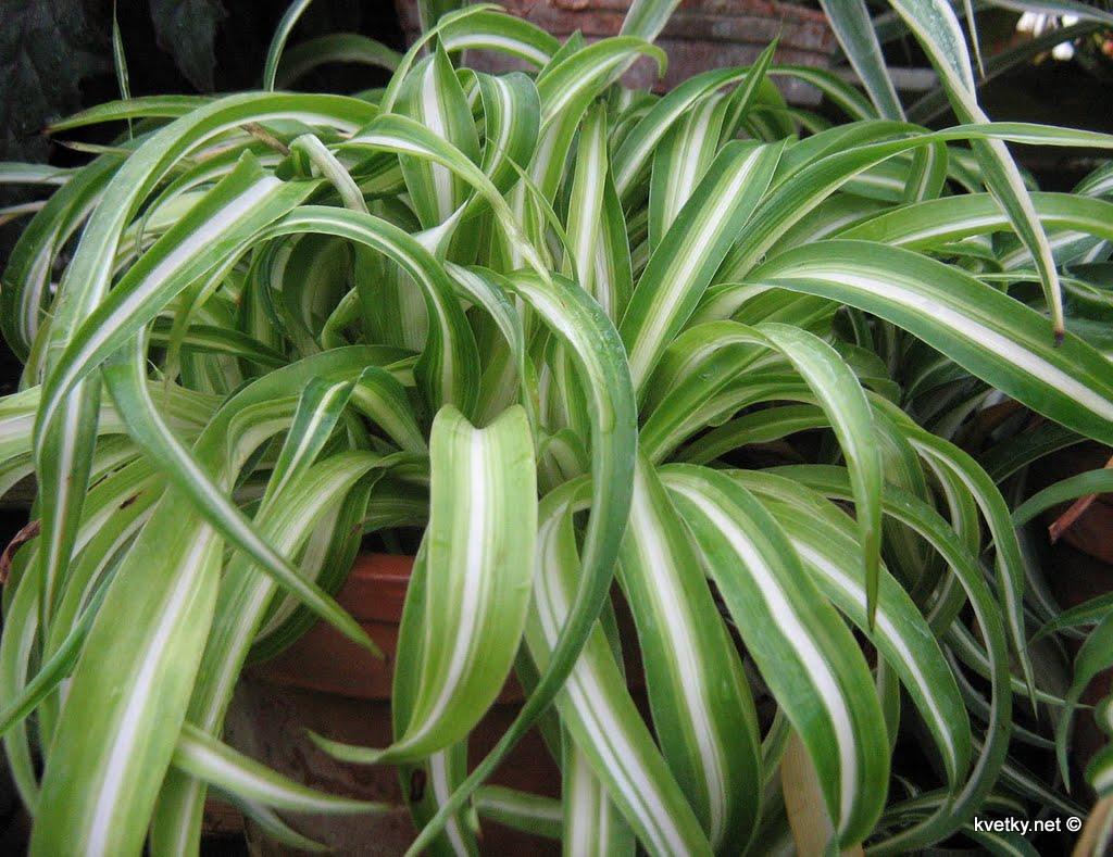 хлорофитум виды и сорта