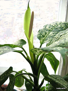 Диффенбахия пятнистая цветение