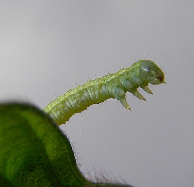 Looper The Geometrid. Looper caterpillar