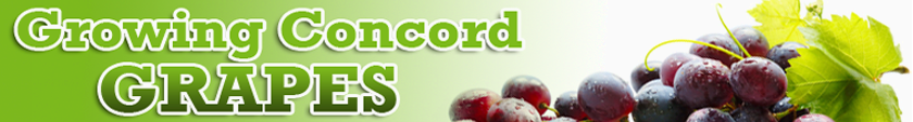 Growing Concord Grapes