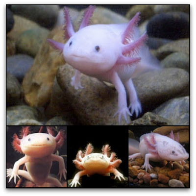 Rare resources axolotl mexican walking fish for The walking fish