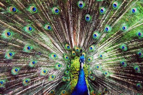Peacock, Dominica