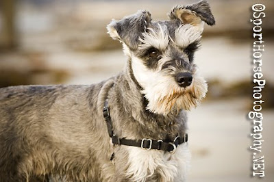 ... .net: 2010 Miniature Schnauzers International Calendar