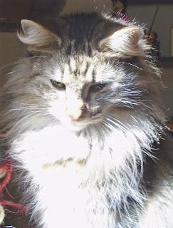 Arwen gato bosque de noruega val de cambs