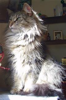 gato bosque de noruega, criadero val de cambs