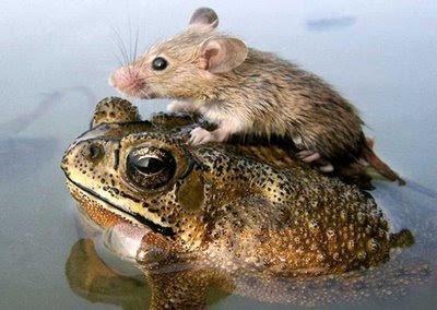 frog & rat