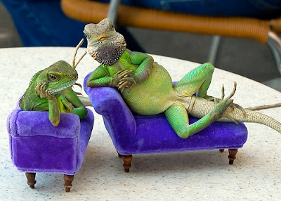 iguana's couch been adjusted 1