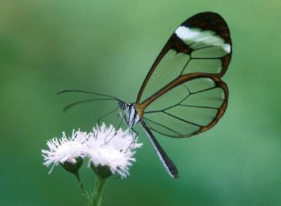 Glasswing+butterfly+15.jpg