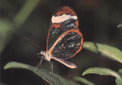 Glasswing+butterfly++2.JPG