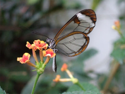 Glasswing+butterfly+7.jpg