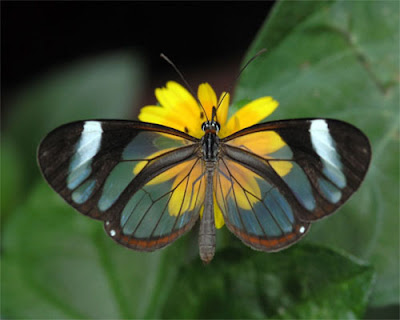 Glasswing+butterfly+5.jpg
