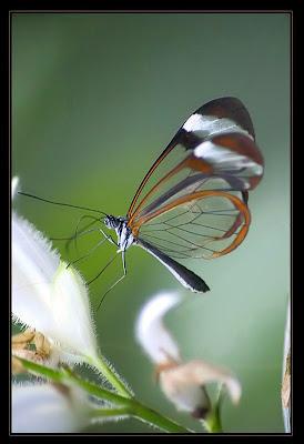 Glasswing+butterfly+4.jpg