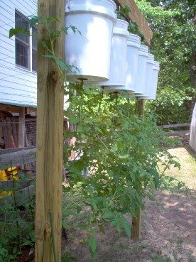 Upside Down Tomato tree