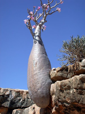 Trees From Socotra Islands (2) 2