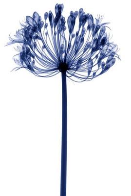 Flowers X-rays (15) 13