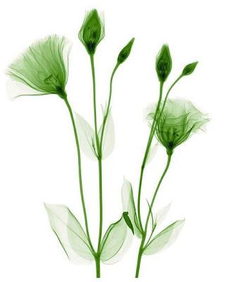Flowers X-rays (15) 9