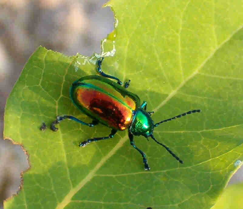 The Christmas Beetle | Pest Control and Bug Exterminator Blog